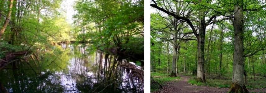 forêt alluviale  - chênes pédonculés